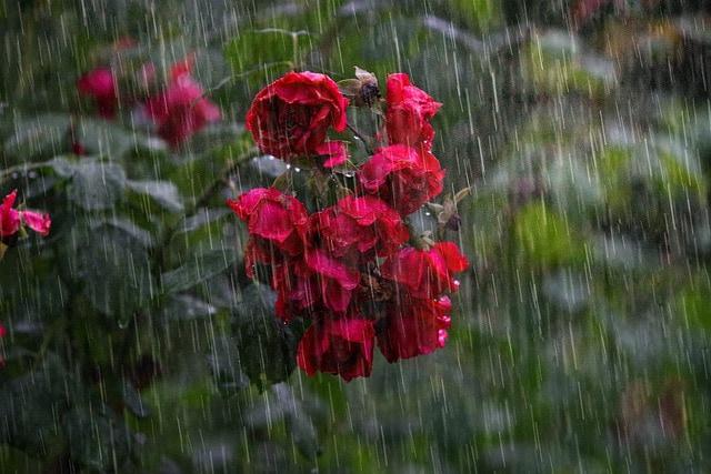 rain on rosebush
